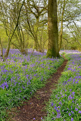 Footpath through bluebell woodland
