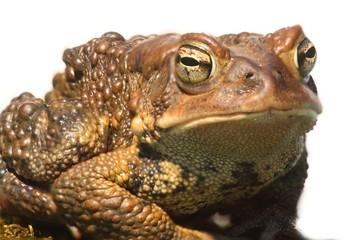 Male American Toad (Bufo americanus)
