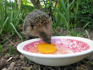 Igel frisst nach dem Winterschlaf ein Ei.