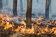 Stable ground fire in pine stand - 64159396
