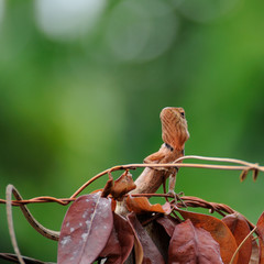 Small lizard climbing on brown leaf.
