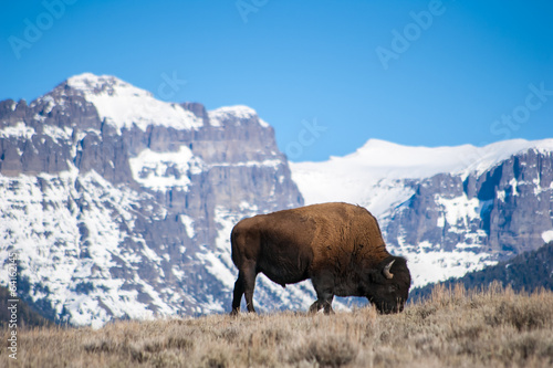Poster Bison Bison Grazing near Snow-Capped Peaks