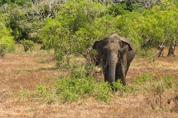 Wild elephant in Yala National Park