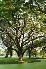 Samanea saman, Big rain tree