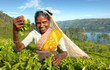 Indigenous Sri Lankan Tea Picker