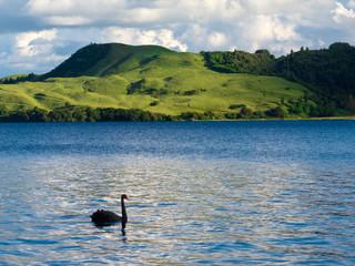 Lake Okatania NZ Black Swan Cygnus atratus