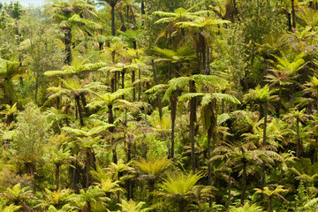 Endemic New Zealand tree fern forest wilderness