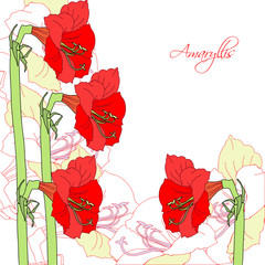 White background with red ammaryllis