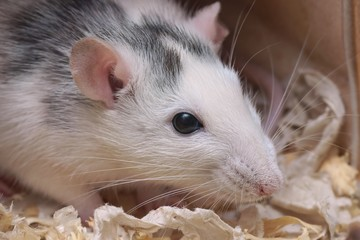Rat (Rattus)