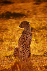 Cheetah sitting in backlight at dawn