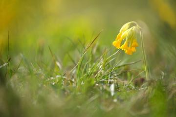 Echte Schlüsselblume (Primula veris)   common cowslip