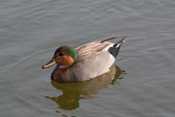 Sarcelle d'hiver - Anas crecca - sur l'étang
