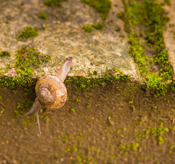 Snail climbing down across the edge of grey brick wall with gree
