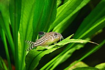 Aquarium fish. Corydoras julii