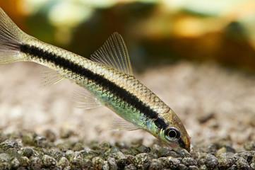 Aquarium fish. Siamese algae eater