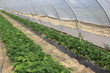 alignement de fraisiers