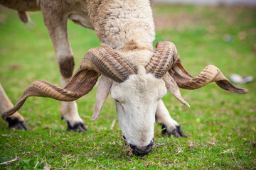 Close up view of a ram sheep head with large horns