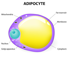 Adipocyte structure. fat cell