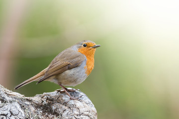 Closeup of Red robin with green background