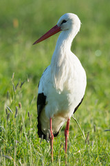 Stork standing in grass