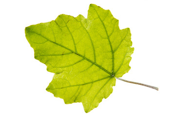 High Resolution green leaf of maple tree isolated on white backg