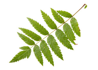 Leaf of rowan tree isolated on white