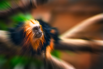 Tamarin golden monkey portrait zoom effect