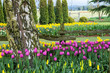 Tulip and Daffodil Spring Flower Garden - 64184108