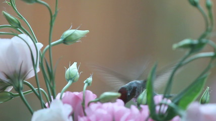 hummingbird with lisianthus flowers