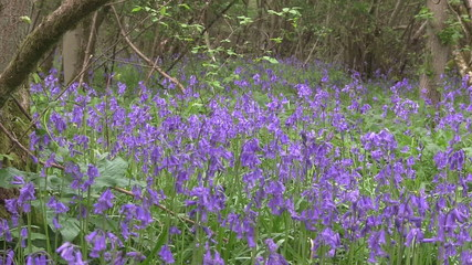 A carpet of Bluebells blooming in a English woodland.