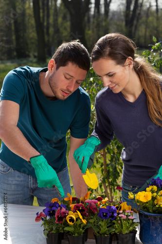 Fotobehang Pansies Pansy seedlings