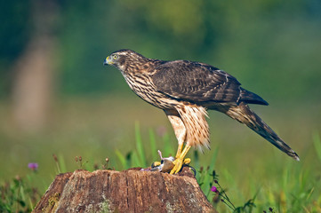 Goshawk with a mouse