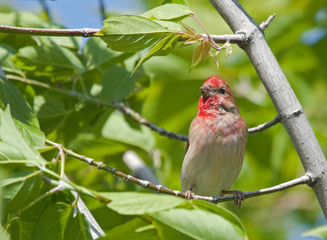 Common Rosefinch on the branch