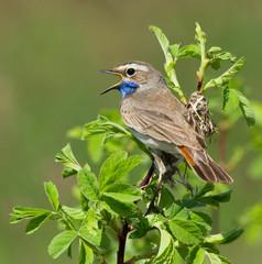 Bluethroat on the branch of bush