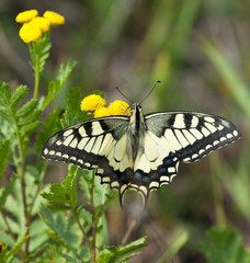 Machaon butterfly on Tansy flower