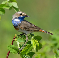 Bluethroat on the branch of bush