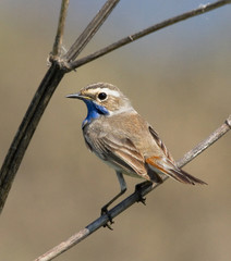 Bluethroat on the branch