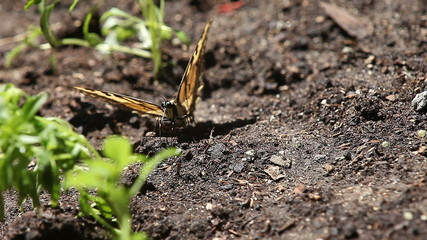 injured butterfly on the ground