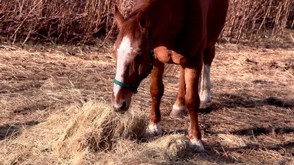 A brown horse grabbing some grasses