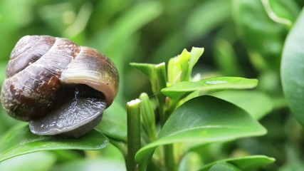 garden snail on green leaves at 4x speed