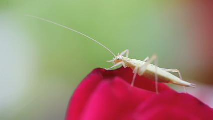 pale green insect resting on a red rose