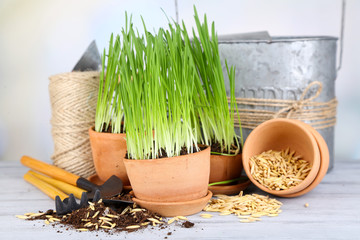 Green grass in flowerpots and gardening tools, on wooden table