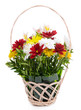 Beautiful bouquet of bright flowers in wicker basket isolated