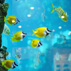 several foxface fish