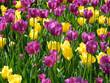 Tulipani gialli e viola