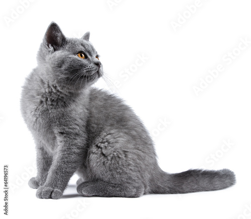canvas print picture blue kitten