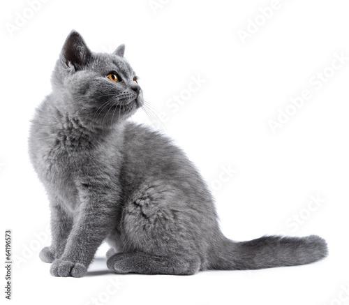 canvas print picture blue kitten