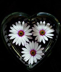 Osteospermum in a Glass Heart on a Black Background