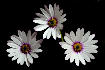 Osteospermum on a Black Background