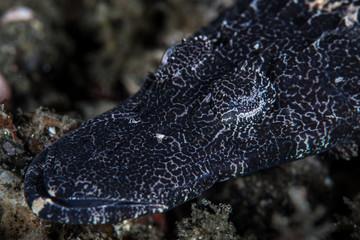 Juvenile crocodilefish